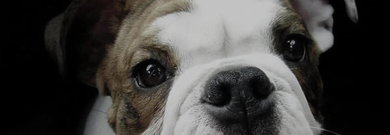 Perché pulire le orecchie del cane e del gatto?